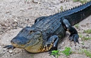 gator6