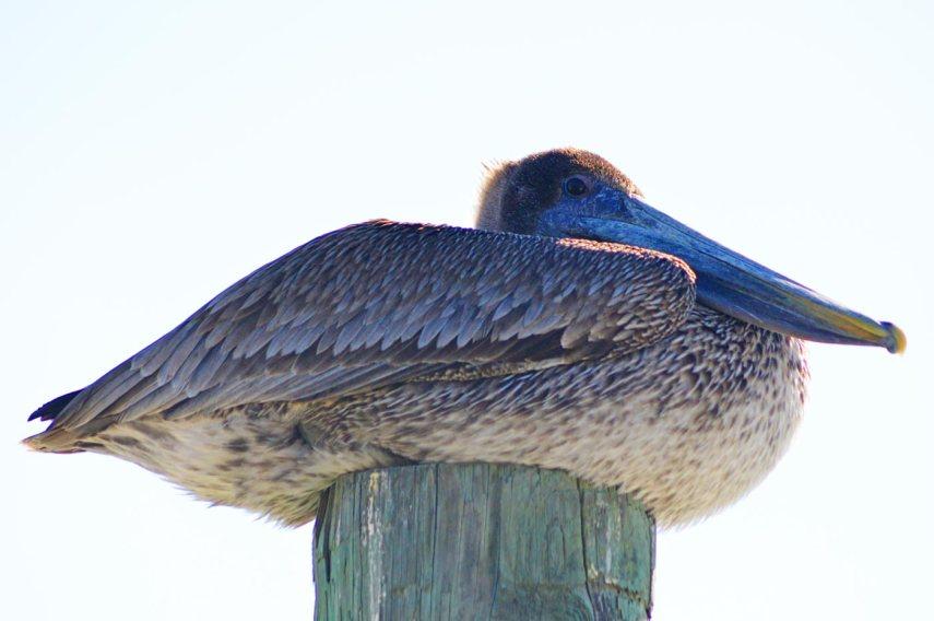 cape-haze-pelican