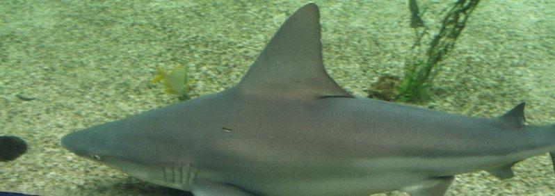 Shark in a tank